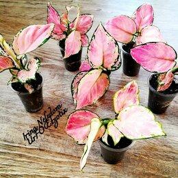 Комнатные растения - Аглаонема Aracea, 0