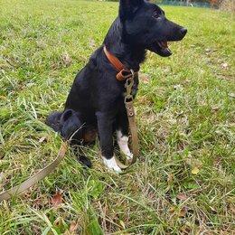 Собаки - Восточно-европейская овчарка черная щенки, 0