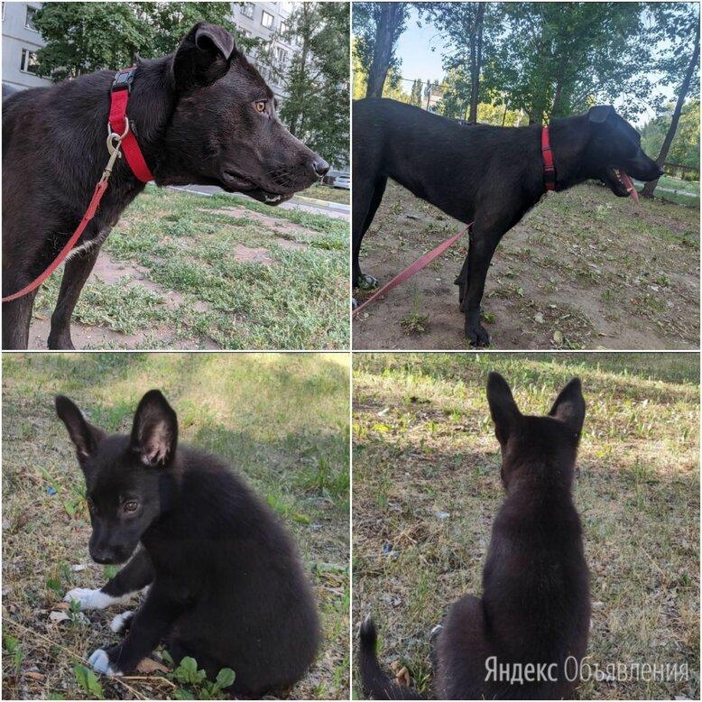 Майа и Шелби в поисках дома по цене 1₽ - Собаки, фото 0