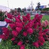 Гортензия метельчатая Самарская Лидия по цене 2000₽ - Рассада, саженцы, кустарники, деревья, фото 2