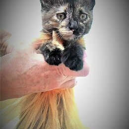 Кошки - Котенок Суок, 0