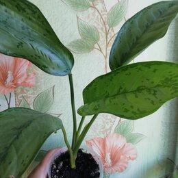 Комнатные растения - Аглаонема Фридман , 0