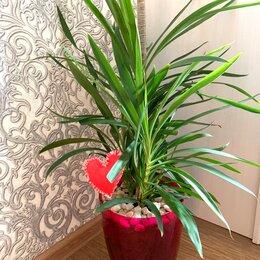 Комнатные растения - Кордилина комнатное растение, 0