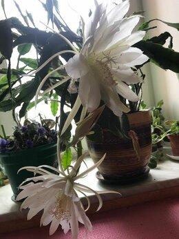 Комнатные растения - Цветок Эпифиллум (оксипеталум) -кактус листовой, 0