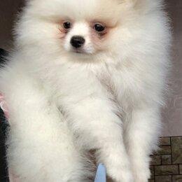 Собаки - Шпиц бело-кремовый(пати колорный) , 0