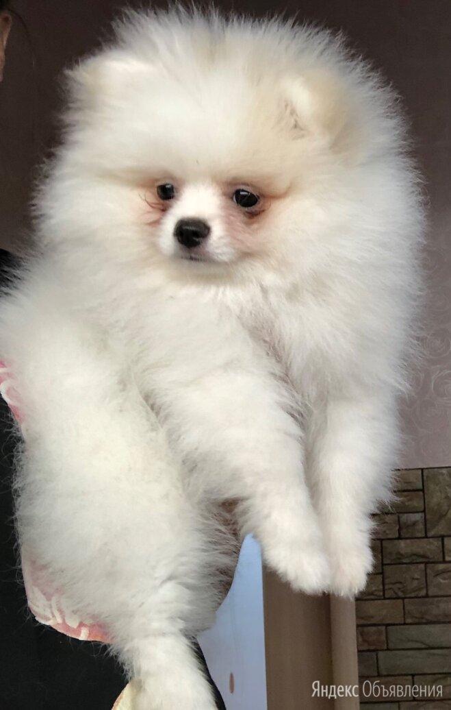 Шпиц бело-кремовый(пати колорный)  по цене 25000₽ - Собаки, фото 0