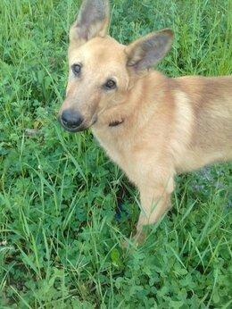 Собаки - Рэмчик ищет спортивную  семью и большой надежный…, 0