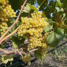 Рассада, саженцы, кустарники, деревья - Саженцы винограда Кишмиш 342, 0