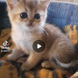 Кошки - Золотые британские шиншиллы из питомника, 0
