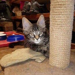 Кошки - Мейн кун мраморный серый, 0