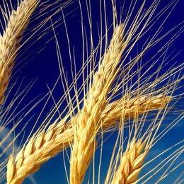 Ингредиенты для приготовления напитков - Пшеница Икар, 0