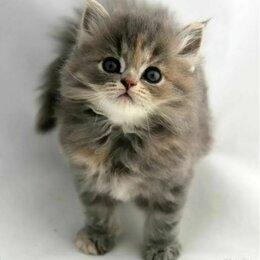Кошки - Хайленд страйт , 0
