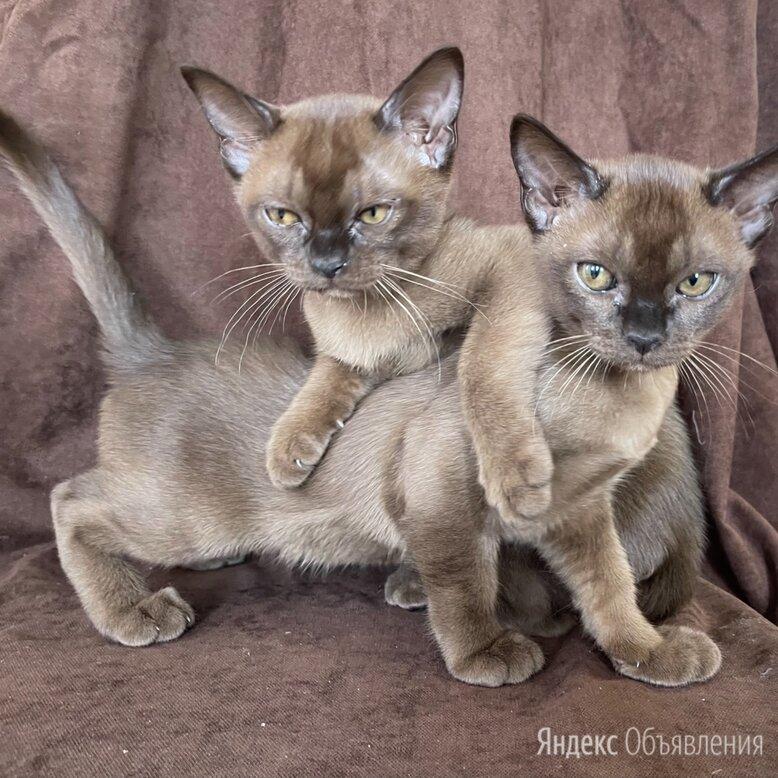 Бурманская кошка  по цене 35000₽ - Кошки, фото 0