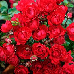 """Рассада, саженцы, кустарники, деревья - АФ """"Поиск"""" Роза почвопокровная Ред Фэйри (Red Fairy), 0"""