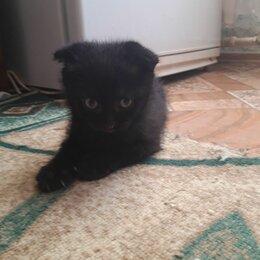 Кошки - Продаётся! Чёрная Шотландская Вислоухая кошка. Родилась 9 мая 2021 года. , 0