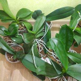 Комнатные растения - Орхидея фаленопсис, 0