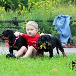 Собаки - Девочки ротвейлера, 0