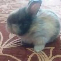Кролики - Декоративный кролик 1,5 месяца , 0