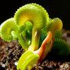 Комнатные растения - хищники по цене 90₽ - Комнатные растения, фото 2