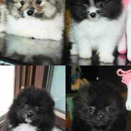 Собаки - Померанский шпиц патиколор черный, 0
