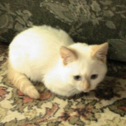 Кошки - Белая кошка, 0