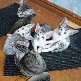 Кошки - Котята Ориенталы, 0
