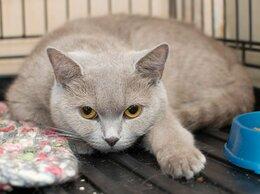 Кошки - Лапочка Фарель, фенотипичная британская красавица, 0