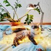 Котёнок помеси мейнкуна по цене 1₽ - Кошки, фото 4