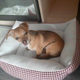 Животные - Той терьер чихуахуа бежевый щенок, 0