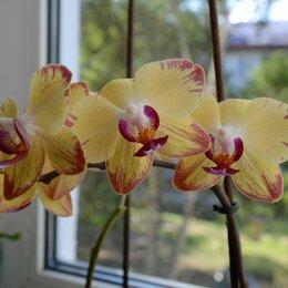 Комнатные растения - Орхидея Bee Sting, 0