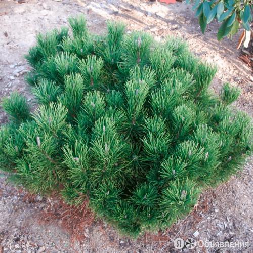 """Сосна горная """"Pal Maleter"""" (Поль Малетер) (MO/С2/30 см////) по цене 2400₽ - Комнатные растения, фото 0"""