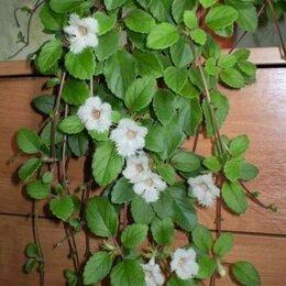 Комнатные растения - Альсобия, 0
