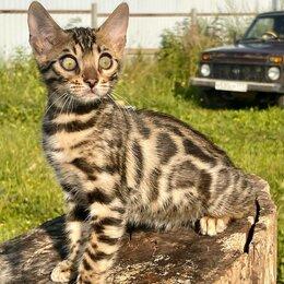 Кошки - Бенгальская кошечка золотого окраса, 0