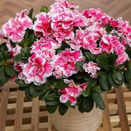 Комнатные растения - Азалии, герберы - комнатные, 0