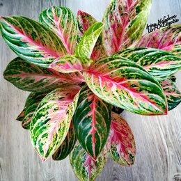 Комнатные растения - Аглаонема Kokomelon Super Pink (домашняя) , 0