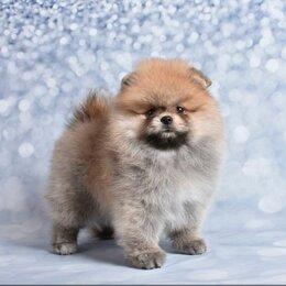 Собаки - Померанский шпиц медвежьего типа, 0