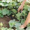 Капельная эмиттерная лента полива растений теплицы КЛ 25 метров шаг 30 по цене 670₽ - Шланги и комплекты для полива, фото 12