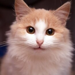 Кошки - Маленькая пушистая кошечка Фанта ищет дом., 0