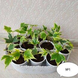 Комнатные растения - Хедера, 0
