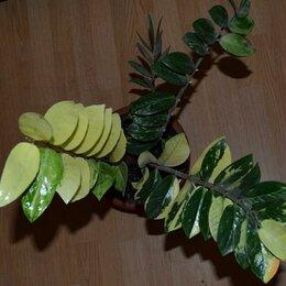 Комнатные растения - Замиокулькас вариегатный, 0