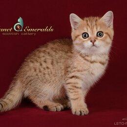 Кошки - Котенок шотландский страйт, 0
