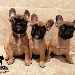 Собаки - Высокопородные щенки французский бульдог, 0