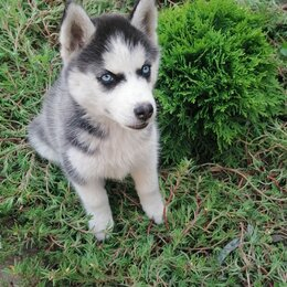 Собаки - Щенок сибирской хаски , 0