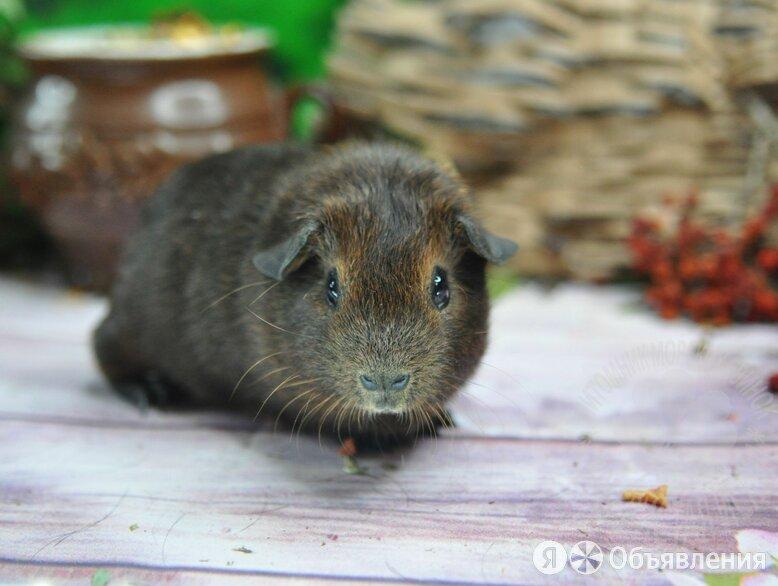 Морская свинка агути по цене 4000₽ - Грызуны, фото 0