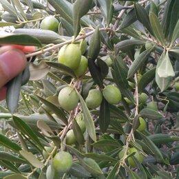 Рассада, саженцы, кустарники, деревья - Маслина, олива европейская, 0
