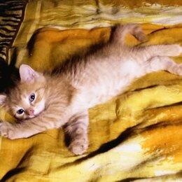 Кошки - Котёнок чудесный, мальчик, Американский КЁРЛ, окрас золотой/рыжий, прямоухий, 0