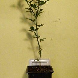 Комнатные растения - Дикий лимон - понцирус трифолиата, 0