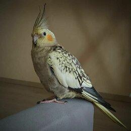 Животные - Пропал попугай корелла перловый (Томск), 0