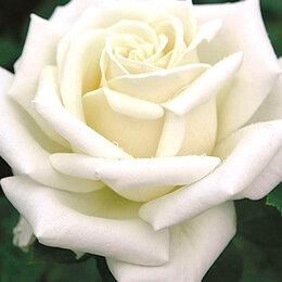 """Рассада, саженцы, кустарники, деревья - АФ """"Поиск"""" Роза чайно-гибридная Аннапурна (Annapurna), 0"""