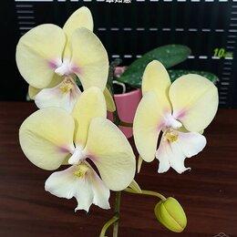 Комнатные растения - Орхидея Фаленопсис Phal. KS Big Stone 'KS1221-1', 0